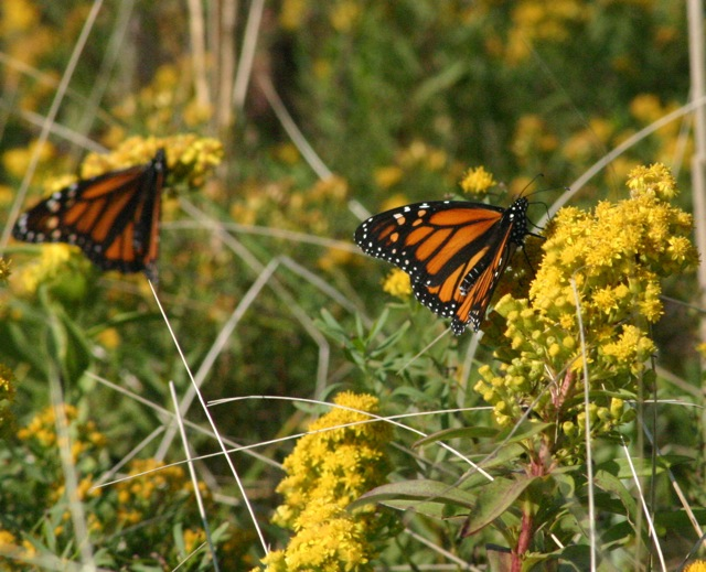 A pair of Monarchs just off the sandy paths outheast of the Towers. (Click for larger image.)