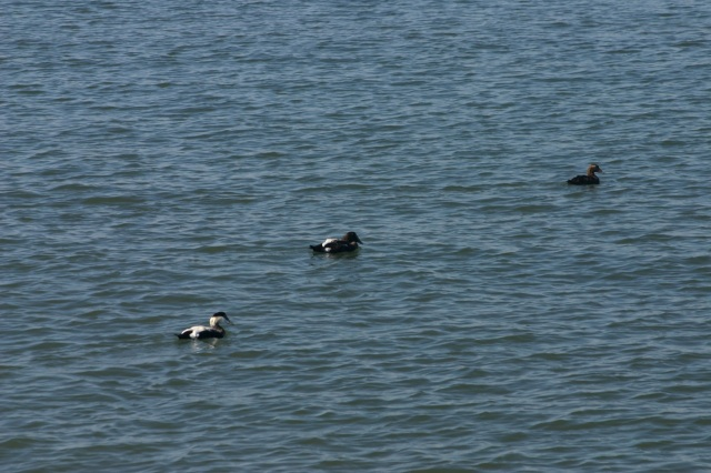 twomales_onefemale_eider
